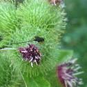 Burdock Seedhead Moth Parasite