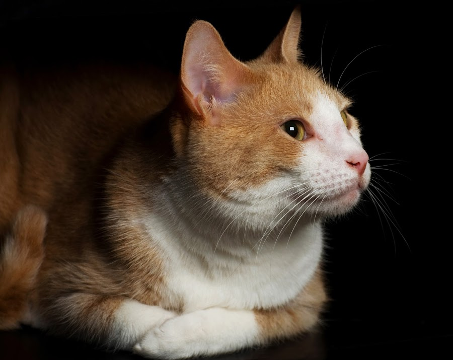 by Patrick Hayes - Animals - Cats Portraits