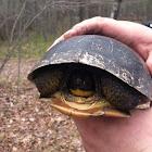 Blanding turtle