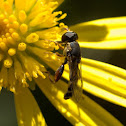 Thick-legged Hover Fly