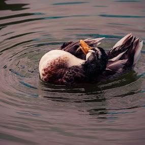 Pato by Jorge Madrigal - Animals Birds ( animals, park, duck, landscape, birds, animal,  )