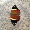 Mariposa Nymphalidae