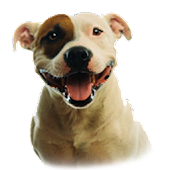 Pitbull Dog Live Wallpaper