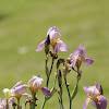 Lavender/Pink Iris