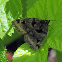 Toothed Somberwing Moth