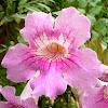 Bignonia rosa
