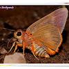Orange Awlet
