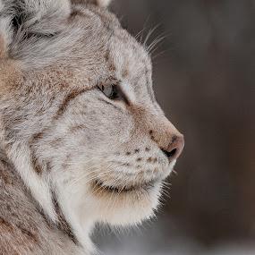 Lynx by Rita Birkeland - Animals Other ( big cat, predator, rovdyr, lynx, gaupe langedrag, wildlife, gaupe )