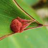 Red Orb Weaver Spider