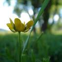 Buttercup- Ranunculus