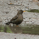 Common Blackbird female