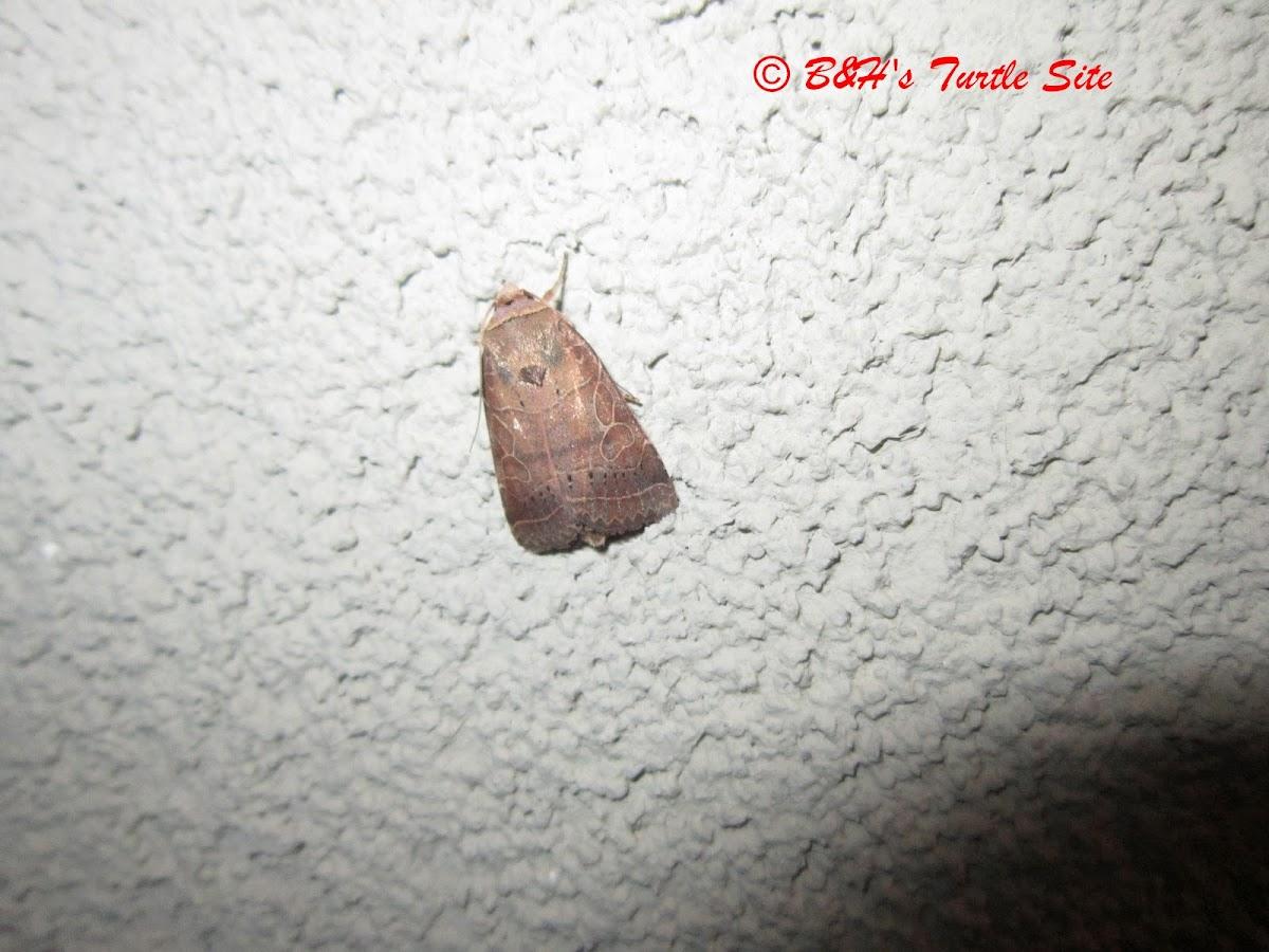 Hebrew Moth