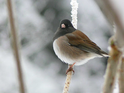 A dark-eyed junco in Glacier Bay National Park.