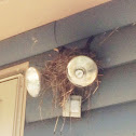 American robin (female with nest and eggs)