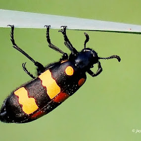 A Blister Beetle by Jayanto Dey - Animals Insects & Spiders