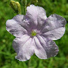 Britton's wild petunia or Mexican Bluebell