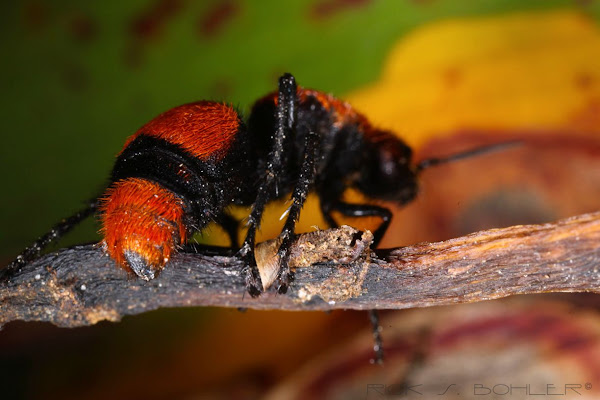 Regret, that large red hairy ants
