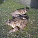 Painted frog (EN) Sapillo pintojo(ES) Sapiño pintoxo (Gal)