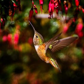 Allen's Hummingbird Heading for Lunch by Ken Wade - Animals Birds ( allen's hummingbird, selasphorus sasin, red, green,  )