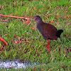 Saracura-do-mato (Slaty-breasted Wood-Rail)