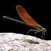 Luzon Demoiselle ♀