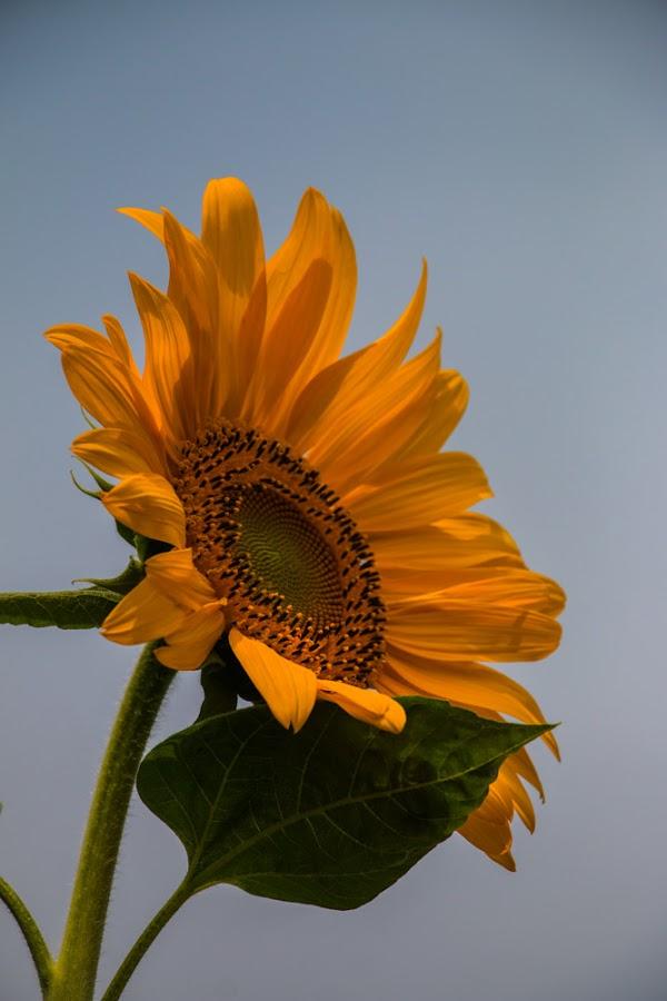 by Deni Dahlan - Flowers Single Flower
