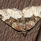 Toother Brown Carpet Moth