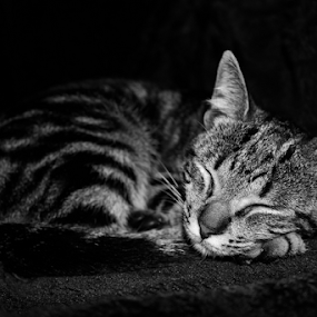 Peaceful by Alexandre Mestre - Animals - Cats Kittens ( blackandwhite, kitten, cat, b&w, black and white, sleep,  )