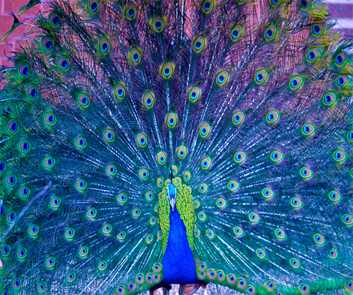 Cute Peacock Live Wallpaper