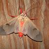 Erebidae, Arctiinae, Arctiini