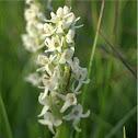 White bog orchid