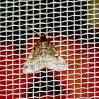 Smoky Tetanolita litter moth