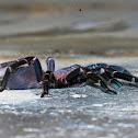 Assam Tarantula