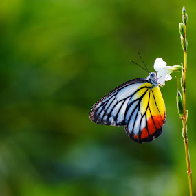 Butterfly by Nuzul Taufiq - Animals Insects & Spiders ( tree, bidara, manir, leaf, leaves, rama, kubur, kucing )