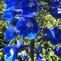 Delphinium , possibly a Volkerfrieden Blue