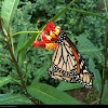 Monarch butterflies (mating pair)
