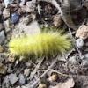 American Dagger Moth, caterpillar
