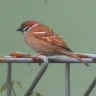 Eurasia Tree Sparrow