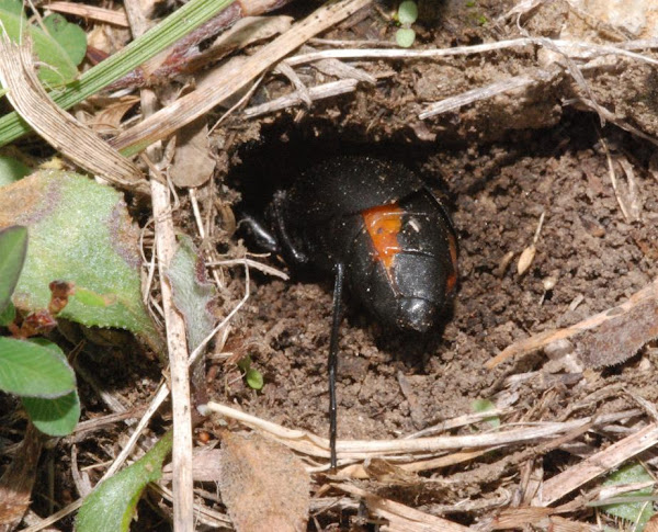 Blister beetle (female) | Project Noah