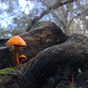 Cogumelos - Gymnopilus -
