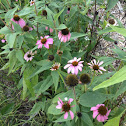 Purple coneflowers/Echinacea