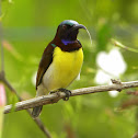Purple-rumped Sunbird(Male)