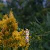 Web Worm Moth