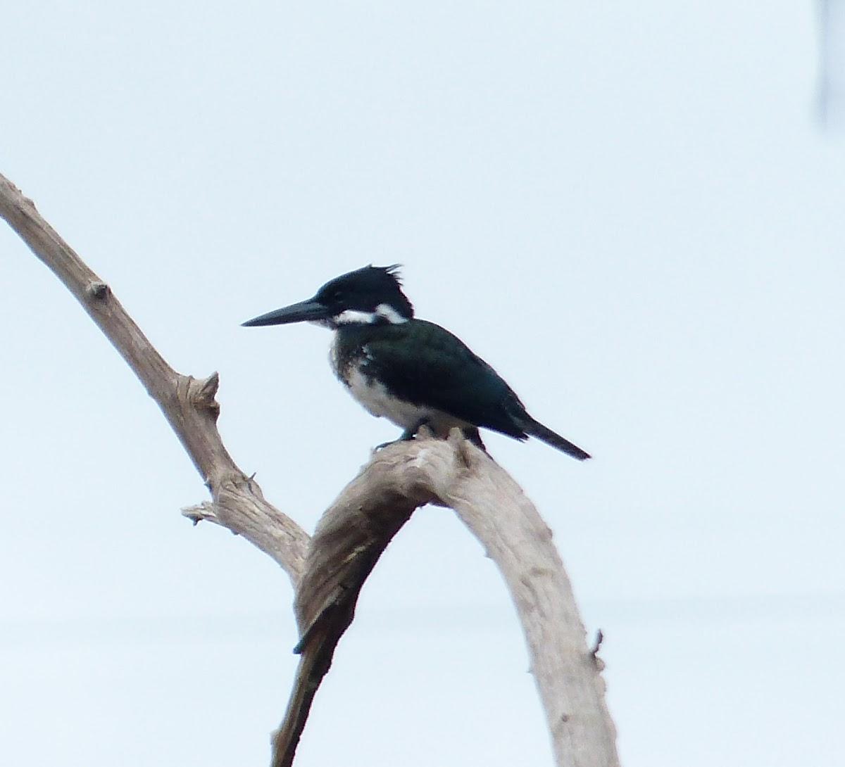 Green Kingfisher  - Female