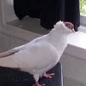 Helmet Crested Pigeon