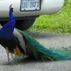 Peacock on a Farm