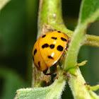 Asiatischer Marienkäfer / Harlequin Ladybird