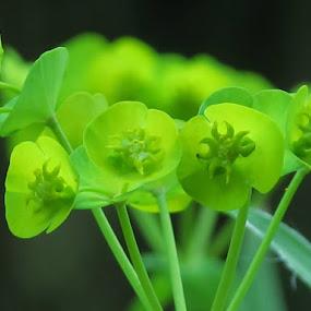 Dance by Bozidarka Scerbe Haupt - Nature Up Close Other plants ( plant, pure, macro, nature, darka, green, black )