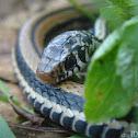Indonesian Garter Snakes