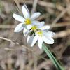 White Prairie Blue-eyed Grass